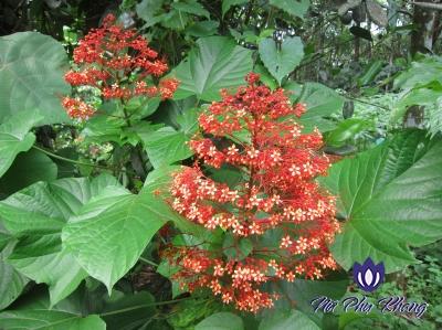 """Mò hoa đỏ - thảo dược """"vàng"""" trị rối loạn kinh nguyệt và khí hư bạch đới"""